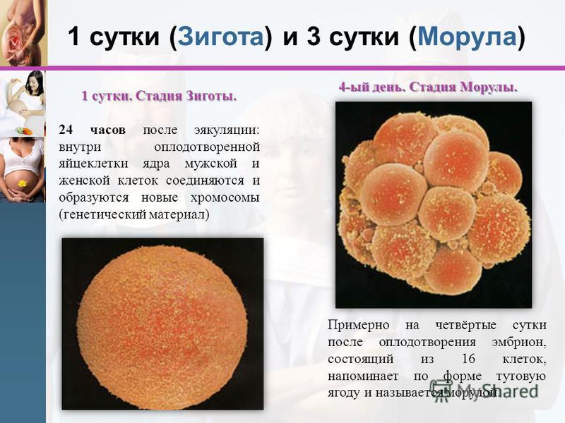 1 сутки (Зигота) и 3 сутки (Морула) 1 сутки. Стадия Зиготы. 24 часов после эякуляции: внутри оплодотворенной яйцеклетки ядра мужской и женской клеток соединяются и образуются новые хромосомы (генетический материал) 4-ый день. Стадия Морулы. Примерно