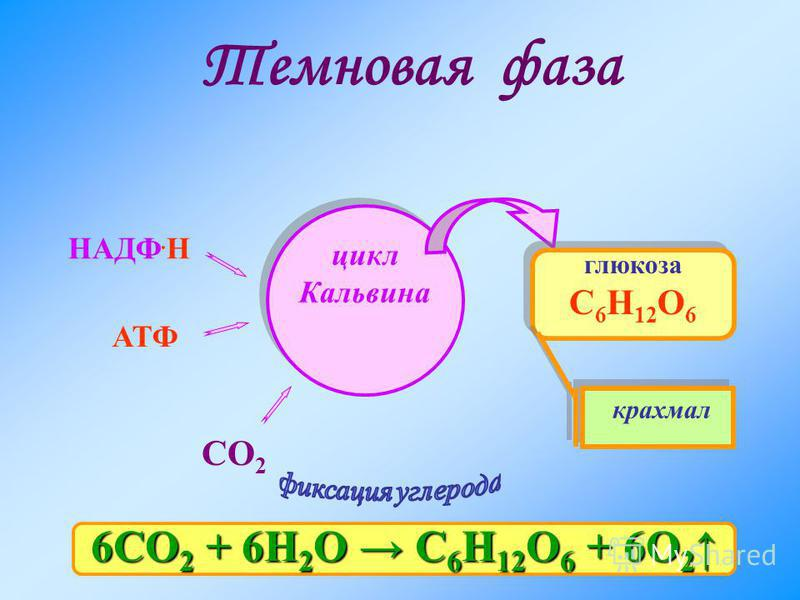 Темновая фаза НАДФ. Н АТФ цикл Кальвина глюкоза С 6 Н 12 О 6 СО 2 крахмал 6СО 2 + 6Н 2 О С 6 Н 12 О 6 + 6О 2 6СО 2 + 6Н 2 О С 6 Н 12 О 6 + 6О 2