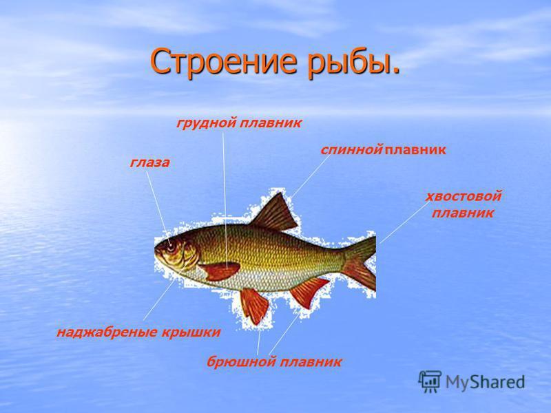 Строение рыбы. хвостовой плавник брюшной плавник глаза спинной плавник наджаберные крышки грудной плавник