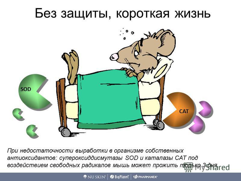 SOD CAT При недостаточности выработки в организме собственных антиоксидантов: супероксиддисмутазы SOD и каталазы CAT под воздействием свободных радикалов мышь может прожить только 3 дня. Без защиты, короткая жизнь