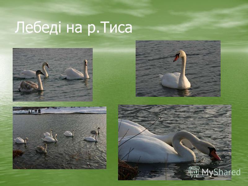 Лебеді на р.Тиса