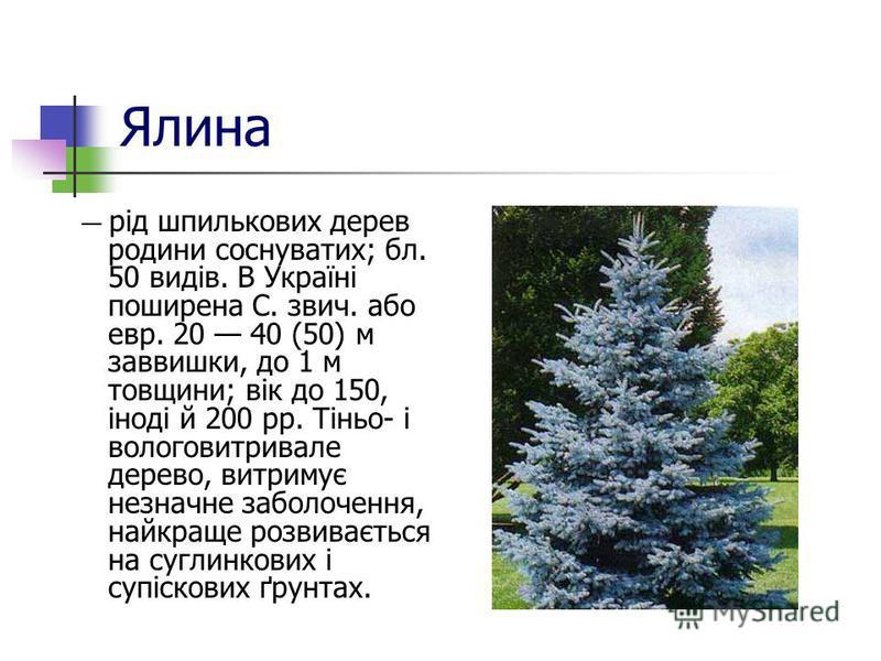 Ялина рід шпилькових дерев родини соснуватих; бл. 50 видів. В Україні поширена С. звич. або евр. 20 40 (50) м заввишки, до 1 м товщини; вік до 150, іноді й 200 pp. Тіньо- і вологовитривале дерево, витримує незначне заболочення, найкраще розвивається