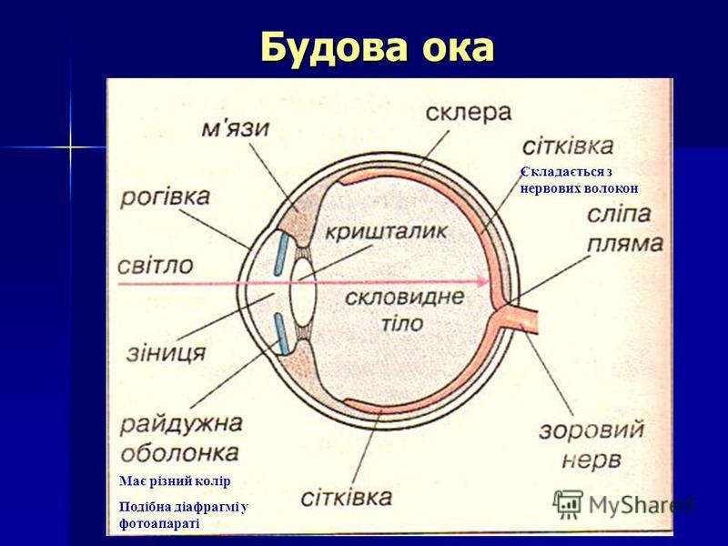 Будова ока Має різний колір Подібна діафрагмі у фотоапараті Складається з нервових волокон
