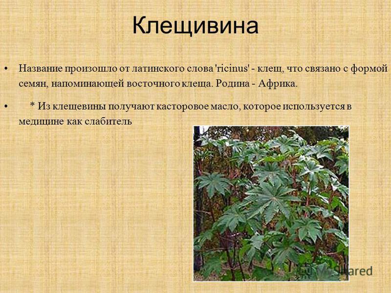 Клещивина Название произошло от латинского слова 'ricinus' - клещ, что связано с формой семян, напоминающей восточного клеща. Родина - Африка. * Из клещевины получают касторовое масло, которое используется в медицине как оослабительь Название произош