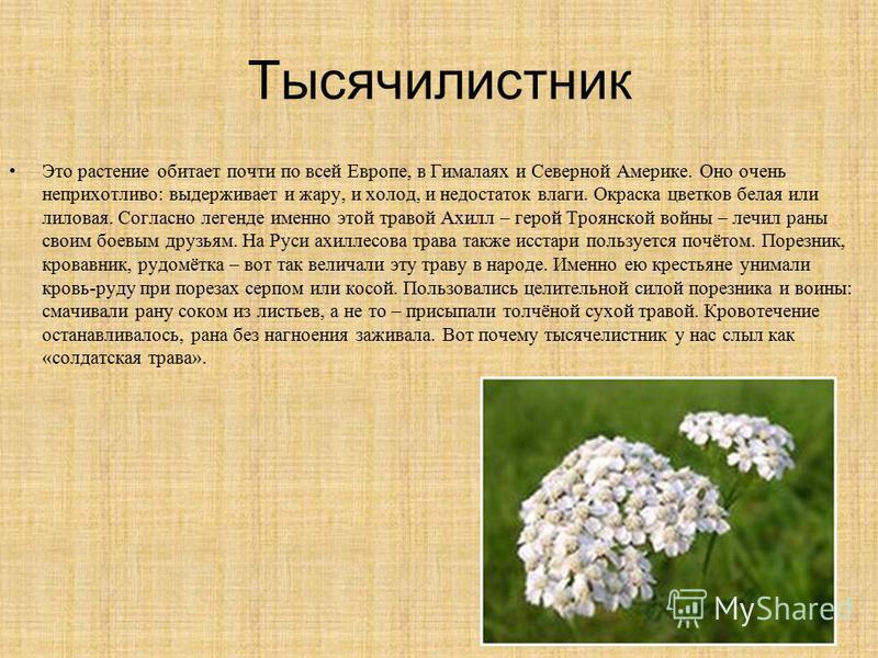 Тысячилистник Это растение обитает почти по всей Европе, в Гималаях и Северной Америке. Оно очень неприхотливо: выдерживает и жару, и холод, и недостаток влаги. Окраска цветков белая или лиловая. Согласно легенде именно этой травой Ахилл – герой Троя