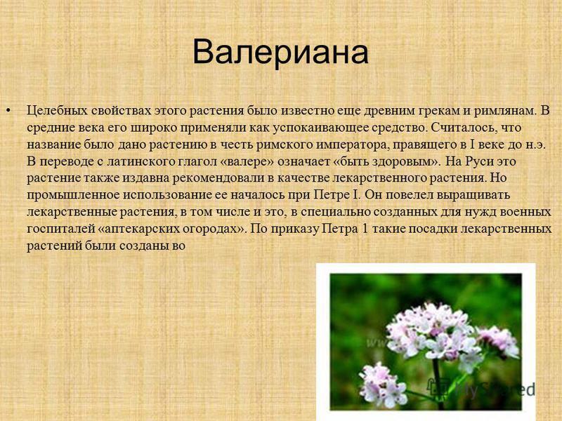 Валериана Целебных свойствах этого растения было известно еще древним грекам и римлянам. В средние века его широко применяли как успокаивающее средство. Считалось, что название было дано растению в честь римского императора, правящего в I веке до н.э