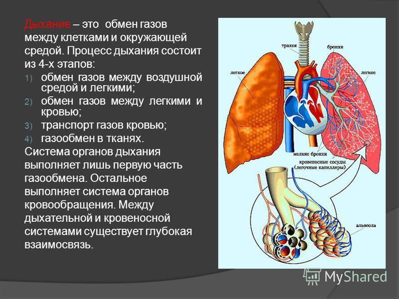 Дыхание – это обмен газов между клетками и окружающей средой. Процесс дыхания состоит из 4-х этапов: 1) обмен газов между воздушной средой и легкими; 2) обмен газов между легкими и кровью; 3) транспорт газов кровью; 4) газообмен в тканях. Система орг
