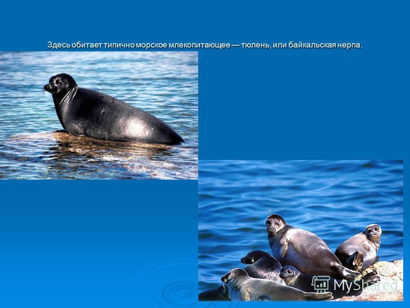 Здесь обитает типично морское млекопитающее тюлень, или байкальская нерпа.