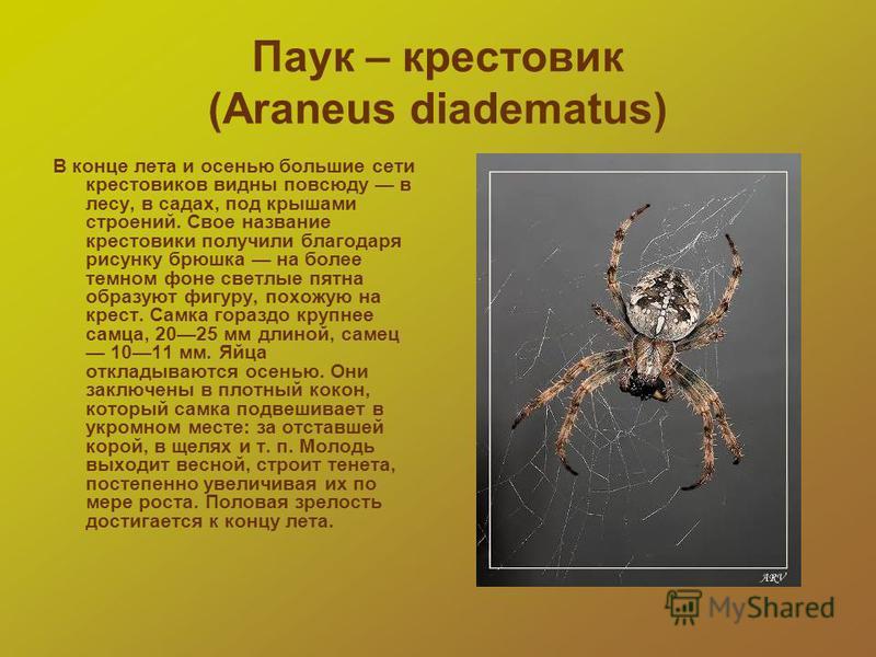 Паук – крестовик (Araneus diadematus) В конце лета и осенью большие сети крестовиков видны повсюду в лесу, в садах, под крышами строений. Свое название крестовики получили благодаря рисунку брюшка на более темном фоне светлые пятна образуют фигуру, п