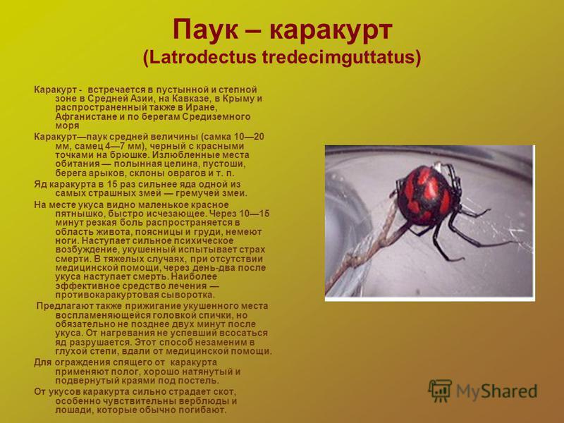 Паук – каракурт (Latrodectus tredecimguttatus) Каракурт - встречается в пустынной и степной зоне в Средней Азии, на Кавказе, в Крыму и распространенный также в Иране, Афганистане и по берегам Средиземного моря Каракуртпаук средней величины (самка 102