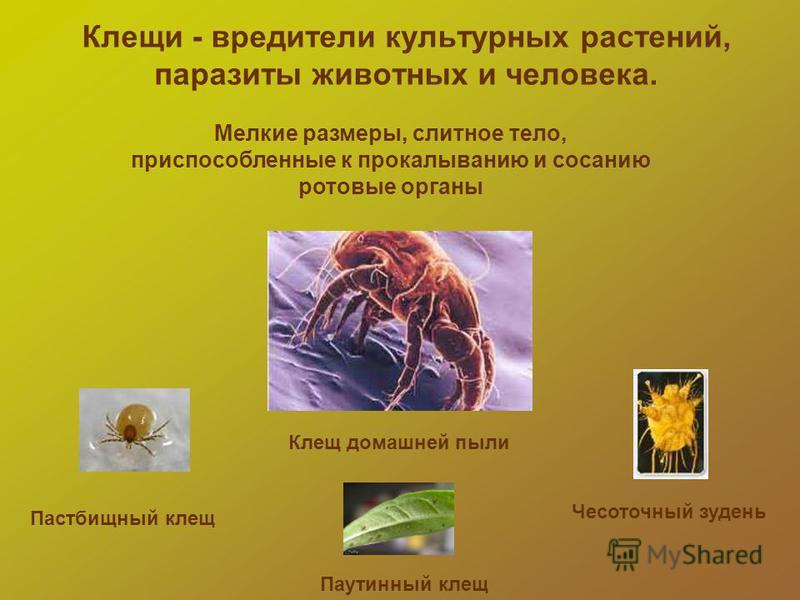 Клещи - вредители культурных растений, паразиты животных и человека. Мелкие размеры, слитное тело, приспособленные к прокалыванию и сосанию ротовые органы Клещ домашней пыли Паутинный клещ Чесоточный зудень Пастбищный клещ