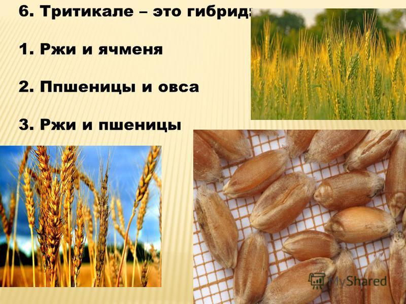 6. Тритикале – это гибрид: 1. Ржи и ячменя 2. Ппшеницы и овса 3. Ржи и пшеницы