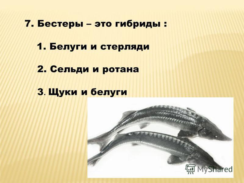 7. Бестеры – это гибриды : 1. Белуги и стерляди 2. Cельди и ротанга 3. Щуки и белуги