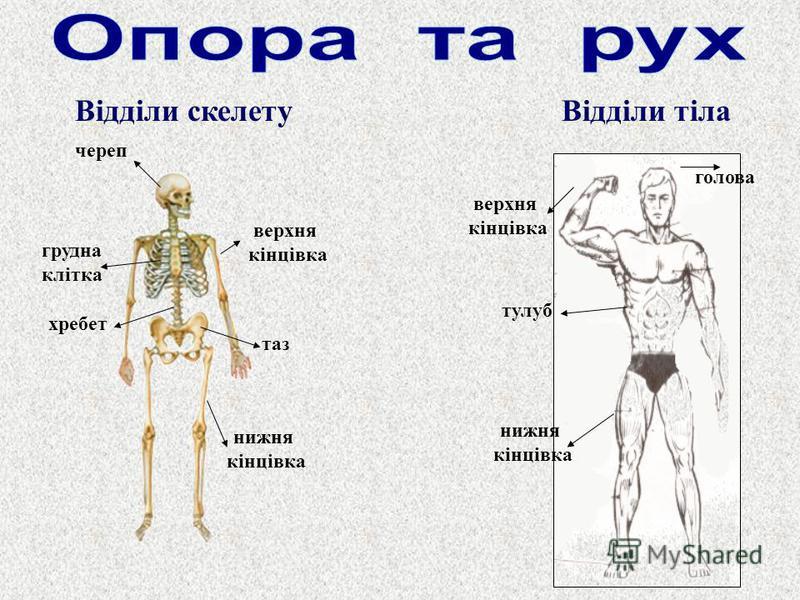 Відділи тілаВідділи скелету череп хребет таз грудна клітка нижня кінцівка верхня кінцівка тулуб голова нижня кінцівка верхня кінцівка