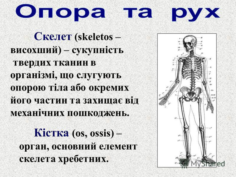 Скелет (skeletos – висохший) – сукупність твердих тканин в організмі, що слугують опорою тіла або окремих його частин та захищає від механічних пошкоджень. Кістка (os, ossis) – орган, основний елемент скелета хребетних.