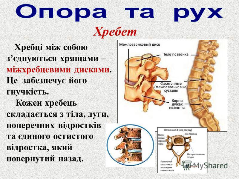 Хребці між собою зєднуються хрящами – міжхребцевими дисками. Це забезпечує його гнучкість. Кожен хребець складається з тіла, дуги, поперечних відростків та єдиного остистого відростка, який повернутий назад.