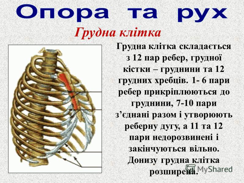 Грудна клітка Грудна клітка складається з 12 пар ребер, грудної кістки – груднини та 12 грудних хребців. 1- 6 пари ребер прикріплюються до груднини, 7-10 пари зєднані разом і утворюють реберну дугу, а 11 та 12 пари недорозвинені і закінчуються вільно