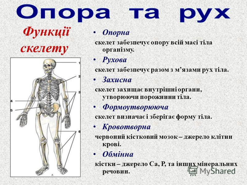 Опорна скелет забезпечує опору всій масі тіла організму. Рухова скелет забезпечує разом з мязами рух тіла. Захисна скелет захищає внутрішні органи, утворюючи порожнини тіла. Формоутворююча скелет визначає і зберігає форму тіла. Кровотворна червоний к