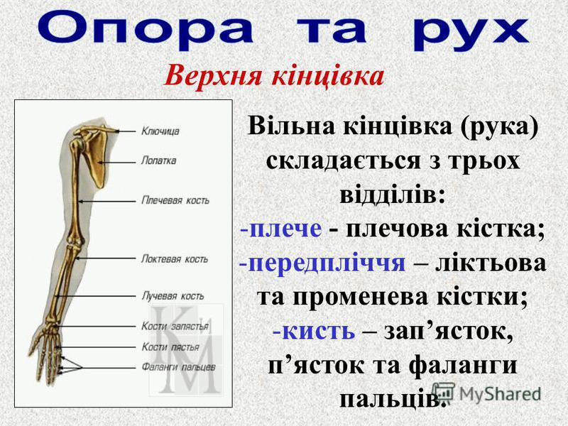 Верхня кінцівка Вільна кінцівка (рука) складається з трьох відділів: -плече - плечова кістка; -передпліччя – ліктьова та променева кістки; -кисть – запясток, пясток та фаланги пальців.