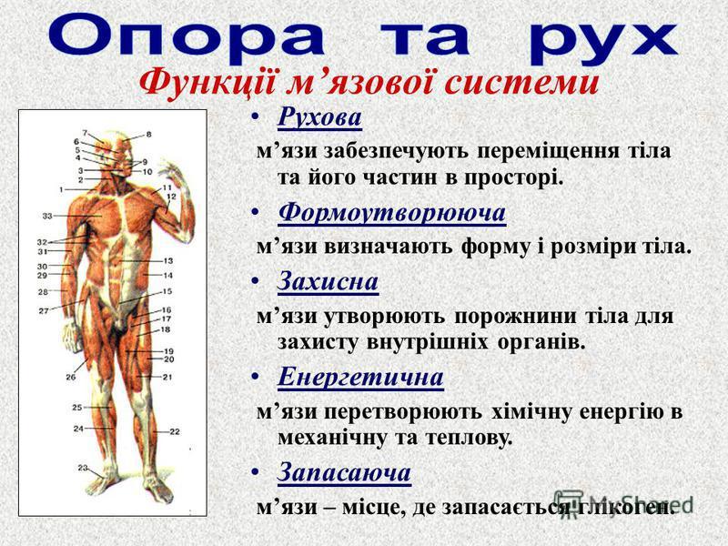Рухова мязи забезпечують переміщення тіла та його частин в просторі. Формоутворююча мязи визначають форму і розміри тіла. Захисна мязи утворюють порожнини тіла для захисту внутрішніх органів. Енергетична мязи перетворюють хімічну енергію в механічну