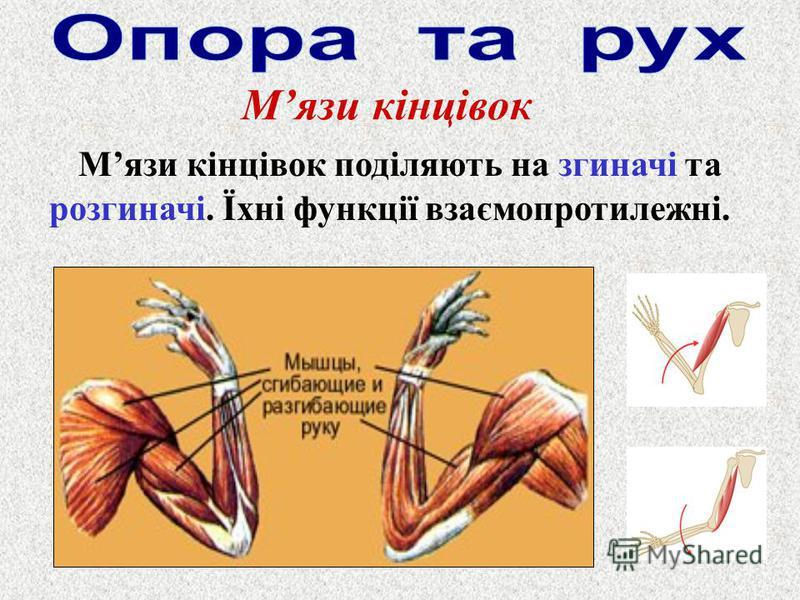 Мязи кінцівок Мязи кінцівок поділяють на згиначі та розгиначі. Їхні функції взаємопротилежні.