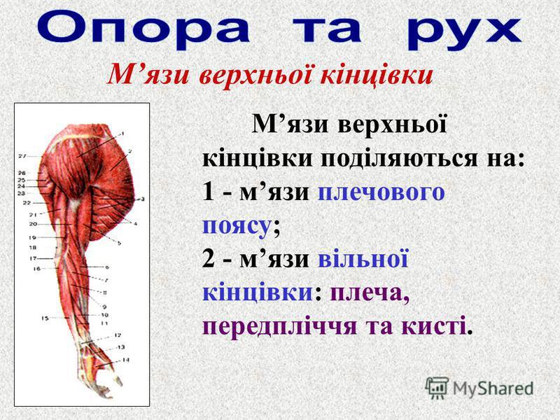 Мязи верхньої кінцівки Мязи верхньої кінцівки поділяються на: 1 - мязи плечового поясу; 2 - мязи вільної кінцівки: плеча, передпліччя та кисті.