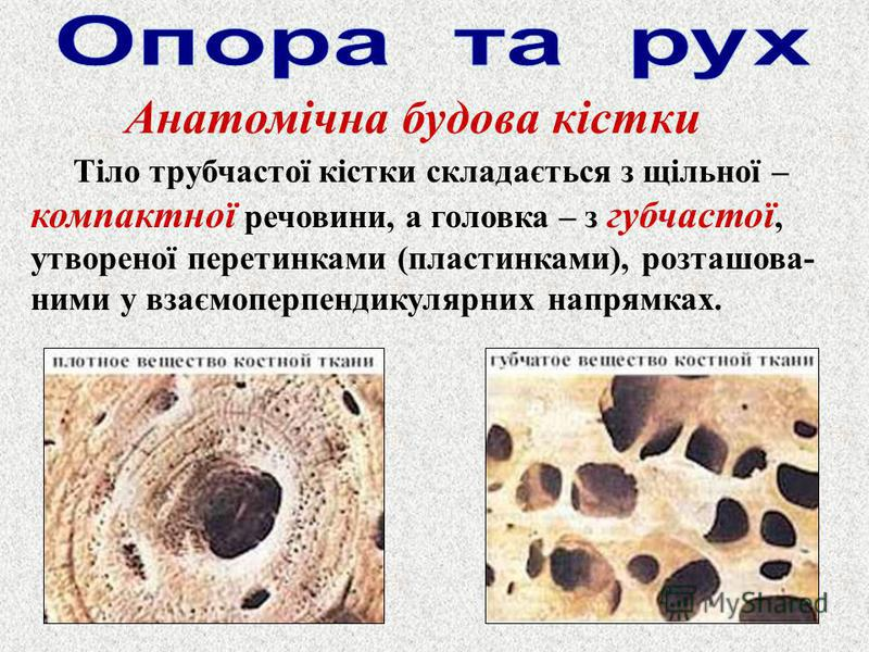 Анатомічна будова кістки Тіло трубчастої кістки складається з щільної – компактної речовини, а головка – з губчастої, утвореної перетинками (пластинками), розташова- ними у взаємоперпендикулярних напрямках.
