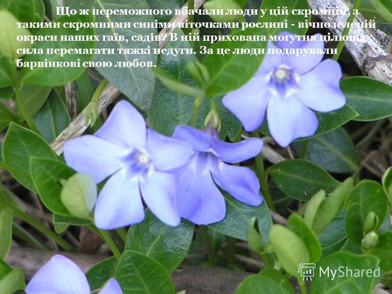 Що ж переможного вбачали люди у цій скромній, з такими скромними синіми віточками рослині - вічнозеленій окраси наших гаїв, садів? В ній прихована могутня цілюща сила перемагати тяжкі недуги. За це люди подарували барвінкові свою любов.