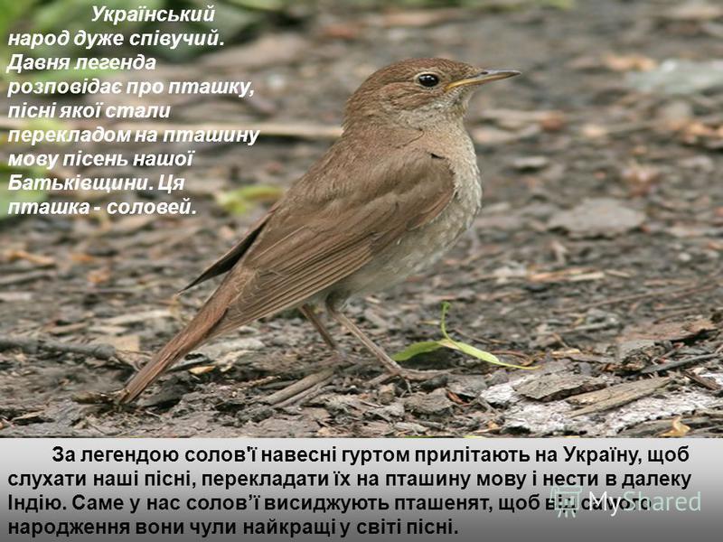 Український народ дуже співучий. Давня легенда розповідає про пташку, пісні якої стали перекладом на пташину мову пісень нашої Батьківщини. Ця пташка - соловей. За легендою солов'ї навесні гуртом прилітають на Україну, щоб слухати наші пісні, перекла