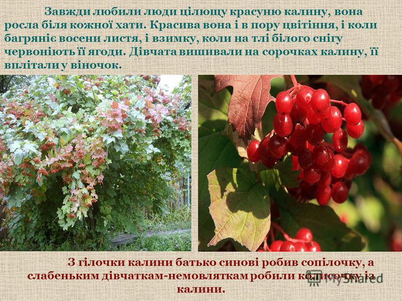 Завжди любили люди цілющу красуню калину, вона росла біля кожної хати. Красива вона і в пору цвітіння, і коли багряніє восени листя, і взимку, коли на тлі білого снігу червоніють її ягоди. Дівчата вишивали на сорочках калину, її вплітали у віночок. З