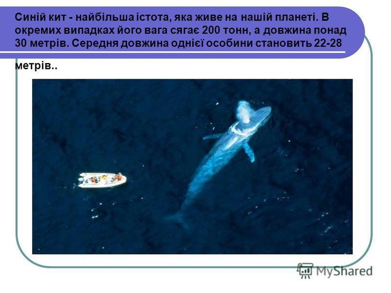 Синій кит - найбільша істота, яка живе на нашій планеті. В окремих випадках його вага сягає 200 тонн, а довжина понад 30 метрів. Середня довжина однієї особини становить 22-28 метрів..