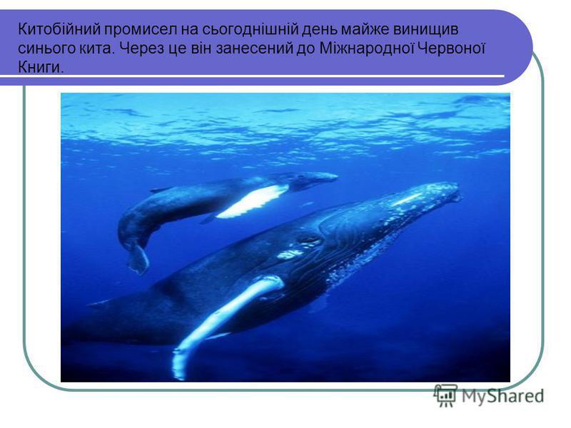 Китобійний промисел на сьогоднішній день майже винищив синього кита. Через це він занесений до Міжнародної Червоної Книги.