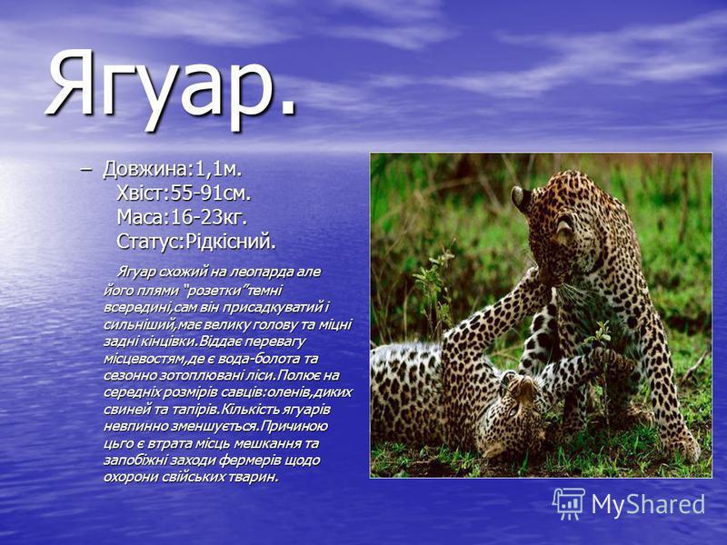 Ягуар. –Довжина:1,1м. Хвіст:55-91см. Маса:16-23кг. Статус:Рідкісний. Ягуар схожий на леопарда але його плями розеткитемні всередині,сам він присадкуватий і сильніший,має велику голову та міцні задні кінцівки.Віддає перевагу місцевостям,де є вода-боло