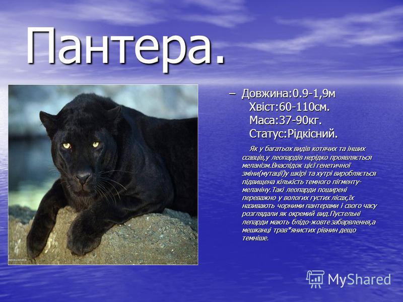 Пантера. –Довжина:0.9-1,9м Хвіст:60-110см. Маса:37-90кг. Статус:Рідкісний. Як у багатьох видів котячих та інших ссавців,у леопардів нерідко проявляється меланізм.Внаслідок цієї генетичної зміни(мутації)у шкірі та хутрі виробляється підвищена кількіст
