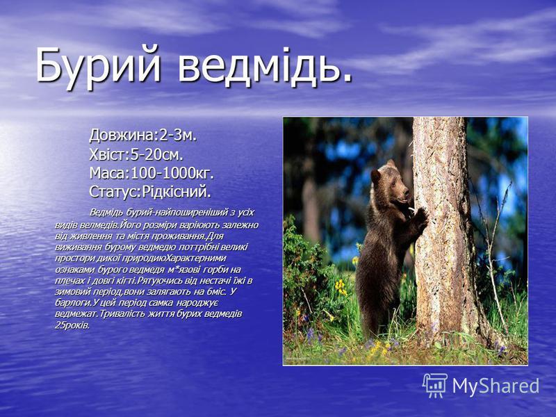 Бурий ведмідь. Довжина:2-3м. Хвіст:5-20см. Маса:100-1000кг. Статус:Рідкісний. Ведмідь бурий-найпоширеніший з усіх видів велмедів.Його розміри варіюють залежно від живлення та містя проживання.Для виживання бурому ведмедю поттрібні великі простори дик
