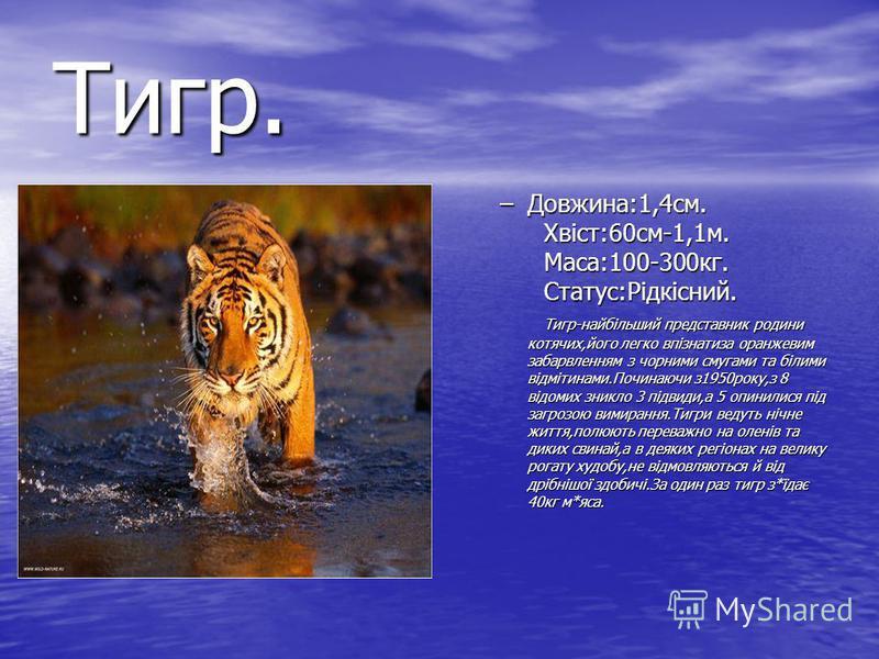Тигр. –Довжина:1,4см. Хвіст:60см-1,1м. Маса:100-300кг. Статус:Рідкісний. Тигр-найбільший представник родини котячих,його легко впізнатиза оранжевим забарвленням з чорними смугами та білими відмітинами.Починаючи з1950року,з 8 відомих зникло 3 підвиди,