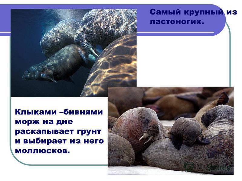 Самый крупный из ластоногих. Клыками –бивнями морж на дне раскапывает грунт и выбирает из него моллюсков.