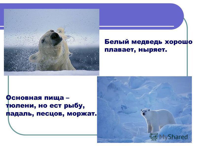 Основная пища – тюлени, но ест рыбу, падаль, песцов, моржат. Белый медведь хорошо плавает, ныряет.