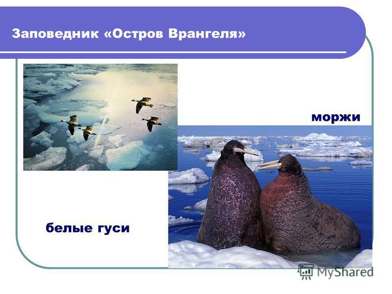 Заповедник «Остров Врангеля» белые гуси моржи