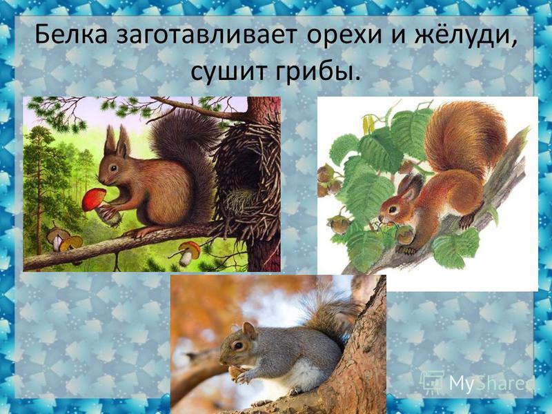 Белка заготавливает орехи и жёлуди, сушит грибы.