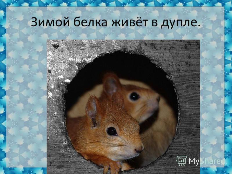 Зимой белка живёт в дупле.