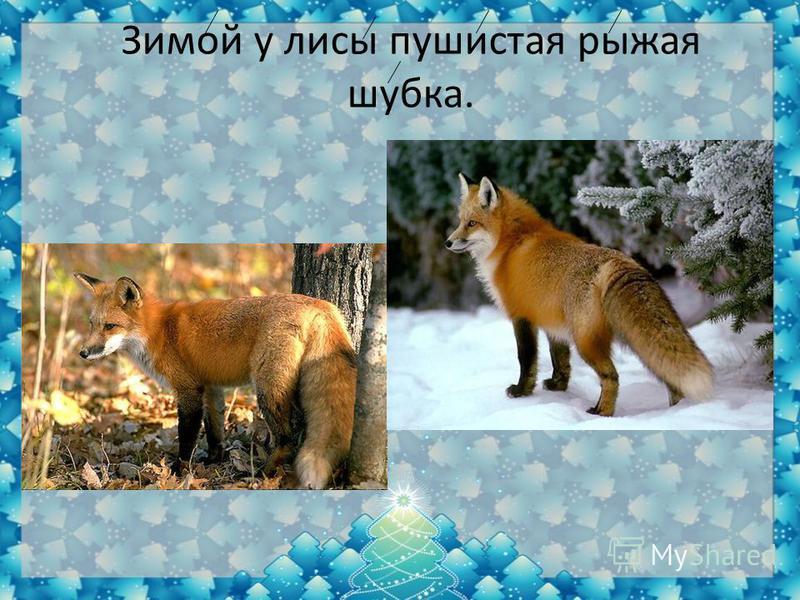 Зимой у лисы пушистая рыжая шубка.