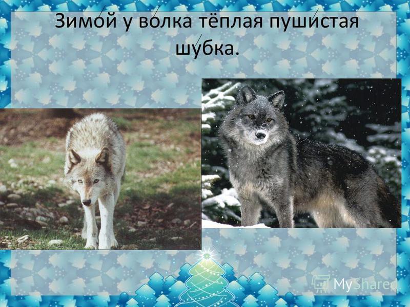 Зимой у волка тёплая пушистая шубка.