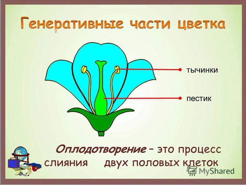 тычинки пестик Оплодотворение – это процесс слияния двух половых клеток