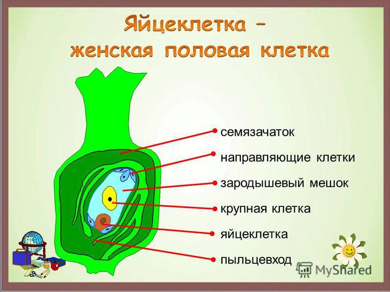 семязачаток пыльцевход зародышевый мешок яйцеклетка крупная клетка направляющие клетки