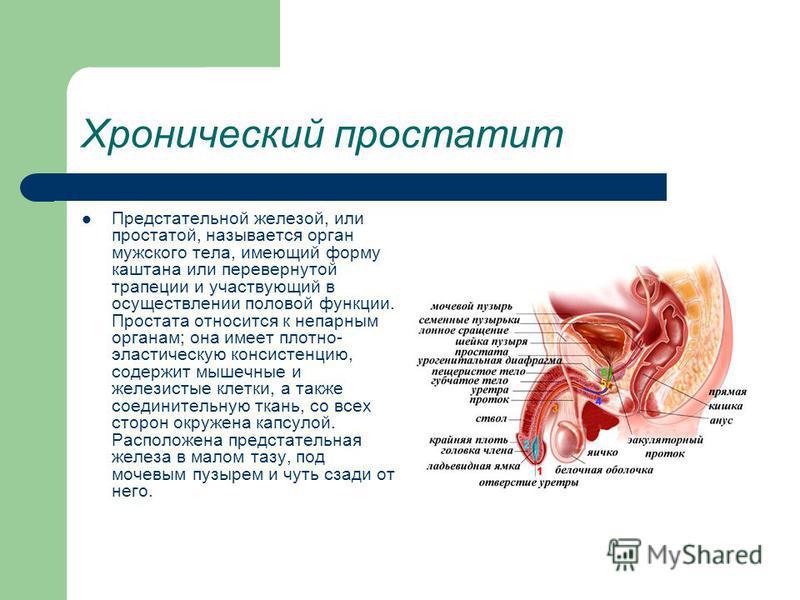 Хронический простатит Предстательной железой, или простатой, называется орган мужского тела, имеющий форму каштана или перевернутой трапеции и участвующий в осуществлении половой функции. Простата относится к непарным органам; она имеет плотно- эласт