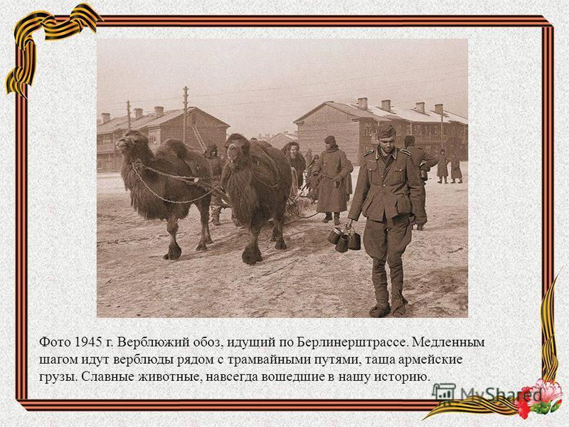 Фото 1945 г. Верблюжий обоз, идущий по Берлинерштрассе. Медленным шагом идут верблюды рядом с трамвайными путями, таща армейские грузы. Славные животные, навсегда вошедшие в нашу историю.