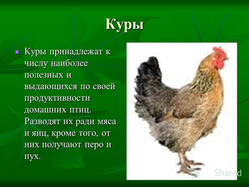 Куры Куры принадлежат к числу наиболее полезных и выдающихся по своей продуктивности домашних птиц. Разводят их ради мяса и яиц, кроме того, от них получают перо и пух. Куры принадлежат к числу наиболее полезных и выдающихся по своей продуктивности д