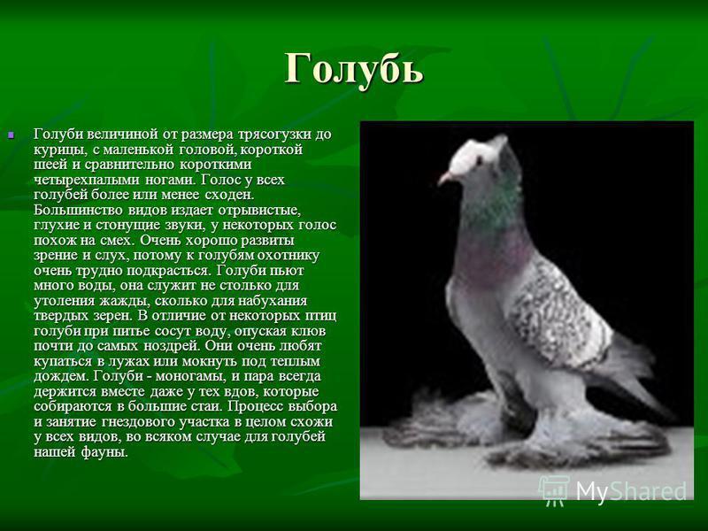 Голубь Голуби величиной от размера трясогузки до курицы, с маленькой головой, короткой шеей и сравнительно короткими четырехпалыми ногами. Голос у всех голубей более или менее сходен. Большинство видов издает отрывистые, глухие и стонущие звуки, у не