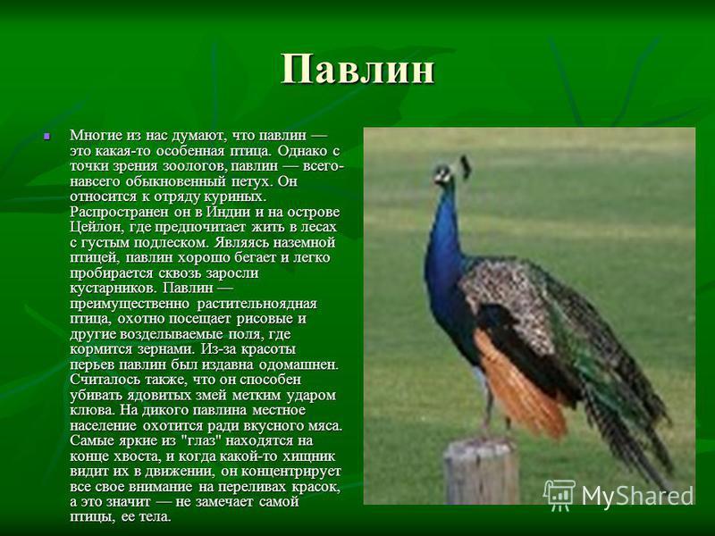 Павлин Многие из нас думают, что павлин это какая-то особенная птица. Однако с точки зрения зоологов, павлин всего- навсего обыкновенный петух. Он относится к отряду куриных. Распространен он в Индии и на острове Цейлон, где предпочитает жить в лесах